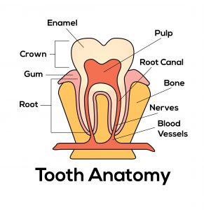 anatomy-of-tooth
